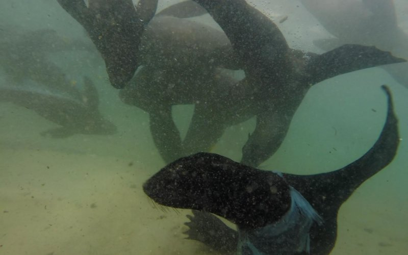Seal with plastic around his neck in Plettenberg Bay