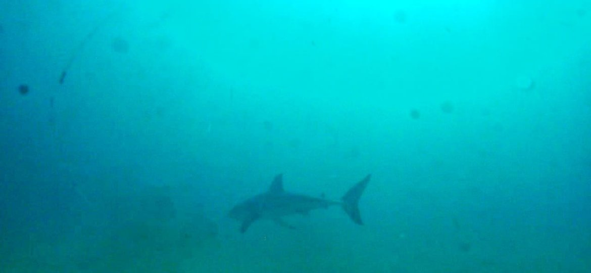 Dived with a Great White shark in Plettenberg Bay .