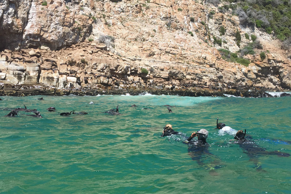 Seal Swims Plett