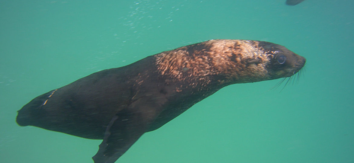 Cape fur seal without a tail at robberg with pro dive plettenberg bay